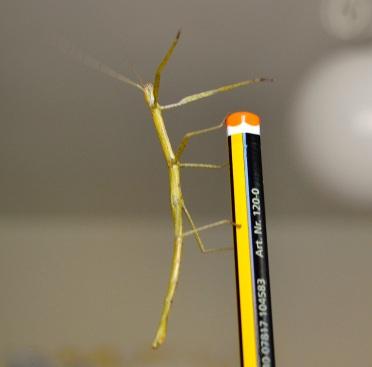 Insecte bastó (Carausius morosus)