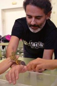 dragó lleopard (Eublepharis macularius)